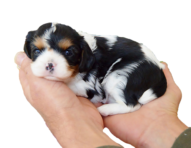 Serendipity Purebred Cavaliers   Cavalier King Charles Spaniels