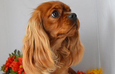 Serendipity purebred cavaliers cavalier king charles spaniels certified pedigree dogs altavistaventures Image collections